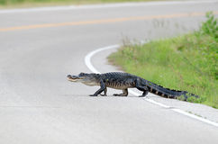Large american alligator in the road Royalty Free Stock Photo