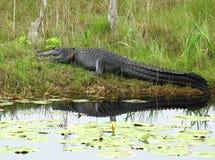 Large American alligator stock images