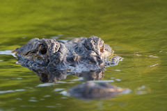 Large American alligator in The water Royalty Free Stock Photography
