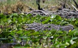 Large American Alligators basking, Okefenokee Swamp National Wildlife Refuge Stock Photos