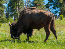 Large American Bison Royalty Free Stock Photos