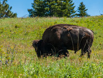 Large American Bison Royalty Free Stock Photography