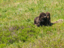Large American Bison Stock Image