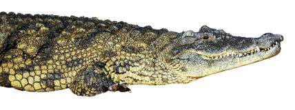 Large American crocodile Royalty Free Stock Photo