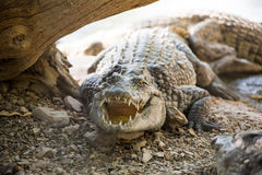Large American crocodile Stock Image