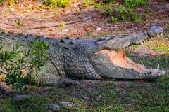 A large American Crocodile in Orlando, Florida royalty free stock photos