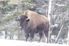 A large American Field buffalo in winter Stock Photo