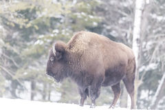 A large American Field buffalo in winter Royalty Free Stock Photography
