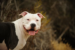 Large American Pit Bull Terrier male. Portrait against natural brush Stock Image