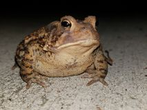 Large American Toad Stock Photography