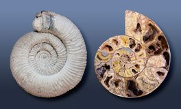Large Ammmonite fossils Stock Photography
