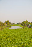 Large amount of water hyacinths float on canal Stock Image