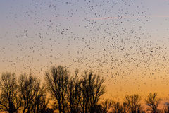 Large amounts of birds flying at sunset Royalty Free Stock Image