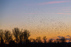 Large amounts of birds flying at sunset Stock Photography