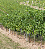 Large amounts of Red Wine Vineyard Grapes Stock Photo
