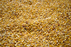 Large amounts of yellow maize widespread. In Backo Dobro Polje, Serbia Royalty Free Stock Image