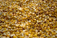 Large amounts of yellow maize widespread. In Backo Dobro Polje, Serbia Stock Photography