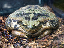 Large amphibious frog - Bufo marinus.  royalty free stock photography