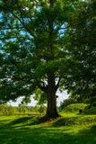 A large ancient tree.ash tree Stock Photo