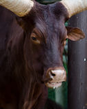 Large angry bull Royalty Free Stock Photography