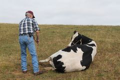 Large Animal Vet Roping the Cow Stock Photo