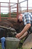 Large Animal Vet At Work. On the foot of a cow royalty free stock images