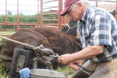 Large Animal Vet At Work 2 Stock Photography