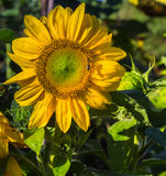Large annual sunflower. Large annual sunflower in full morning sun with a bee Royalty Free Stock Photos