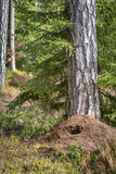 Large anthill in the pine forest in spring, destroyed by green woodpecker hunting for food in winter. Vertical image. Large anthill buildt next to a pine tree Royalty Free Stock Images