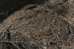 Large anthill of red forest ants stock photo