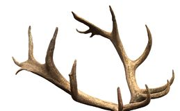 Large antler maral deer on a white background, isolate, horn. Large antler maral deer on a white background, isolate, decoration royalty free stock image