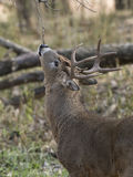 Large Antlered Deer Stock Images