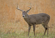 Large antlered White Tailed Deer in open field. Stock Images