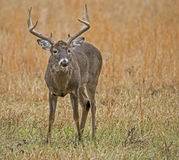 Large antlered White Tailed Deer in open field. stock image