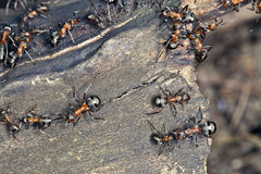 Large ants Royalty Free Stock Image