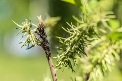 Large ants on green branch, near aphids stock photos