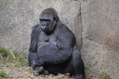 Large Ape Sitting Stock Image