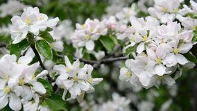 Large apple flowers on branch in spring stock footage