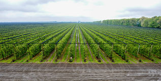 Large apple orchard aerial view. Apple orchard with apples on trees under gray sky Royalty Free Stock Photography
