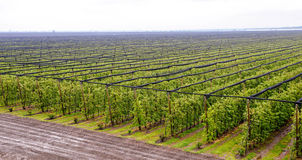 Large apple orchard aerial view. Apple orchard with apples on trees under gray sky Royalty Free Stock Photos
