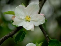 Large white apple tree flower stock image
