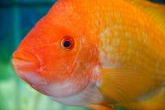 Large aquarium fish. Big fish gold color is looking at us through the glass aquarium Royalty Free Stock Image