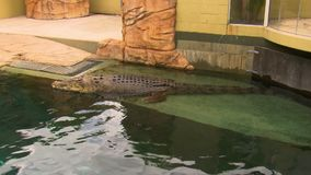 Wide shot of a crocodile in a pen. A large, aquatic pen with a saltwater crocodile occupying it stock video