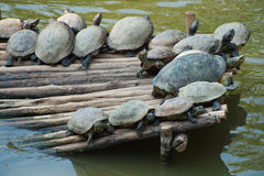 Large Aquatic Turtles Stock Photography
