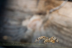 Large Araneus diadematus drabs over its spiderweb Stock Photography