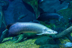 Large Arapaima. In the Amazon under water Stock Image