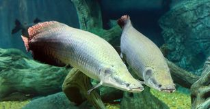 Large Arapaima in the Amazon under water. Large two Arapaima fish in the Amazon under water Royalty Free Stock Images