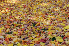 Large Area of Fallen Maple Leaves Royalty Free Stock Photo