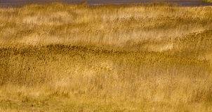 Large areas of reed. Backlight Stock Image