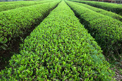 Large areas of tea plantation Stock Images